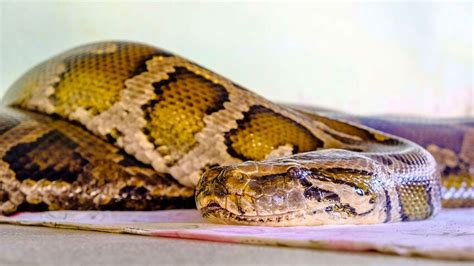 Woman swallowed by 7m python while checking veggie garden